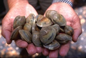Littleneck clams. Photo courtesy U.S. Department of Agriculture.