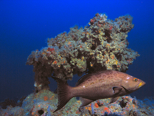 Deep reefs, referred to as mesophotic coral ecosystems, can be found from 100–330 feet in the eastern Gulf of Mexico. Pictured is a scamp grouper at 320 feet off the Dry Tortugas.