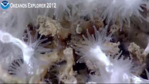 Deep sea Lophelia coral polyps as seen in a closeup screengrab from the ROV Little Hercules.