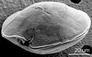 Gambierdiscus caribaeus