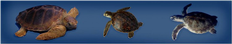 Pictures of the three common sea turtle species found in the Gulf of Mexico