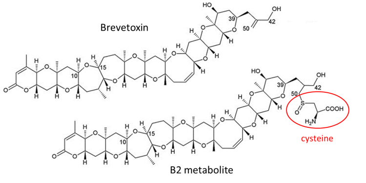 The chemical structures of the marine biotoxin brevetoxin and the brevetoxin metabolite B2. Credit. J. Ramsdell