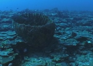 Adult tiger grouper emerging from a barrel sponge surrounded by plate coral.