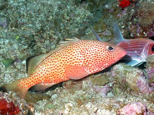 A red hind, a commercially valuable type of grouper found in the area.