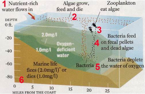 Nutrient-based hypoxia formation: 1) Nutrient-rich water flows in, 2) Algae grow, feed, and die, 3) Zooplankton eat the algae, 4) Bacteria feed on fecal pellets and dead algae, 5) Bacteria deplete the water of oxygen, 6) Marine life flees or dies. (Courtesy Nancy Rabalais, LUMCON)