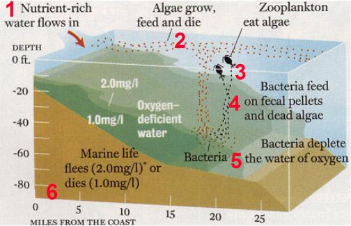Nutrient-based hypoxia formation: 1) Nutrient-rich water flows in, 2) Algae grow, feed, and die, 3) Zooplankton eat the algae, 4) Bacteria feed on fecal pellets and dead algae, 5) Bacteria deplete the water of oxygen, 6) Marine life flees or dies. (Courtesy Nancy Rabalais, LUMCON)