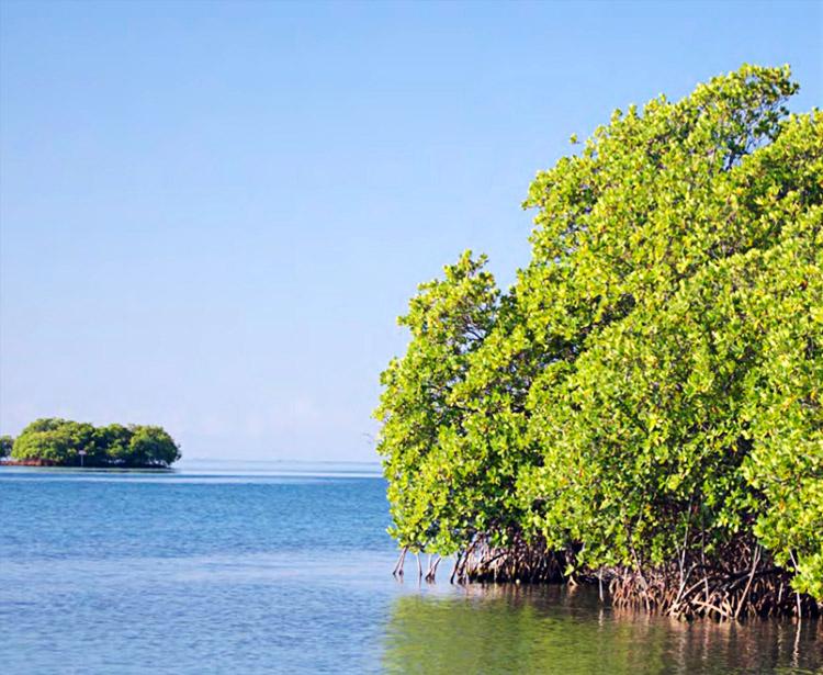 Red mangrove habitat in La Parguera, Puerto Rico