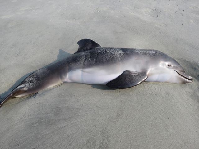 Bottlenose dolphin carcass