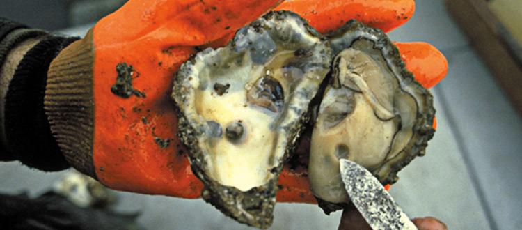Oyster half-shells