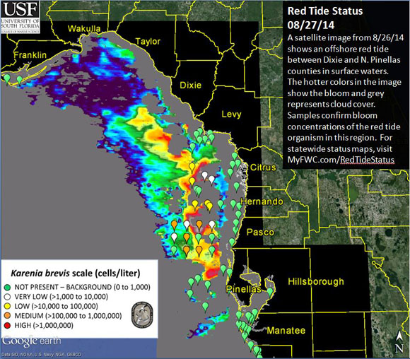 A Florida red tide status as on August 27, 2014. Satellite image shows an offshore red tide between Dixie and N. Pinellas counties in surface waters. (Credit University of South Florida College of Marine Science and FWC)