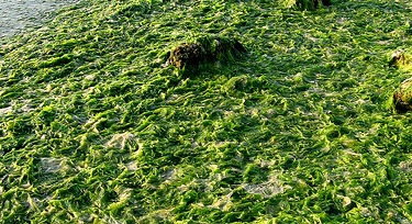 The green seaweed Ulva stranded along the shoreline of Puget Sound. (Credit: Shannon Point Marine Center, Western Washington University)