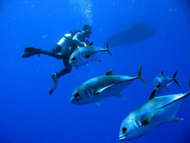 Four jacks glide past a diver in Flower Garden Banks National Marine Sanctuary. Credit: NOAA