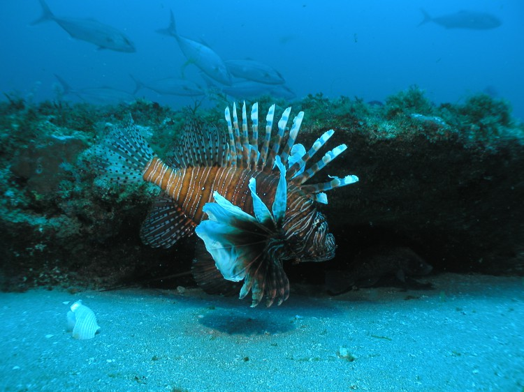 The Indo-Pacific Lionfish (Pterois volitans) were first reported off the North Carolina Coast in 2000. Since then lionfish have become the most abundant and widely distributed species in water depths greater than 122 ft. The lionfish distribution off North Carolina is controlled primarily by winter bottom water temperatures. Credit Doug Kesling NOAA - NURC.