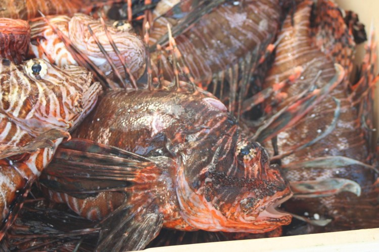 Lionfish catch. Credit: NOAA