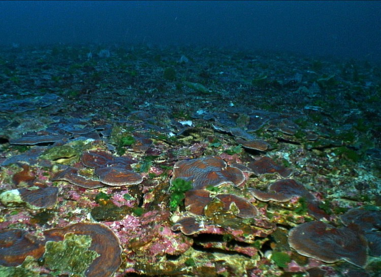 A major finding of the 2014 cruise was the discovery of large patches (up to 60 meters across) of nearly continuous plate coral (Agaricia spp.) near Pulley Ridge off the southwest coast of Florida. (Credit Coral Ecosystem Connectivity 2014 Expedition)