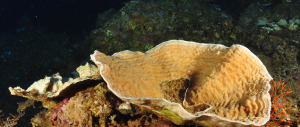 A tropical mesophotic coral. The Second International Workshop on Mesophotic Coral Reef Ecosystems was held in Eilat, Israel on coast of the Red Sea. (Credit Gal Eyal, Interuniversity Institute for Marine Sciences)