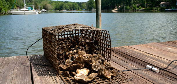 Oysters can help filter Chesapeake Bay's water and, if they grow on a reef, provide important habitat for other fish species. Credit: Maryland Sea Grant.