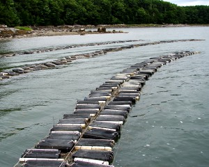 Shellfish farming (oysters, clams, mussels) is the largest single sector of the U.S. marine aquaculture industry and accounts for about two-thirds of total U.S. marine aquaculture production. Credit: NOAA.