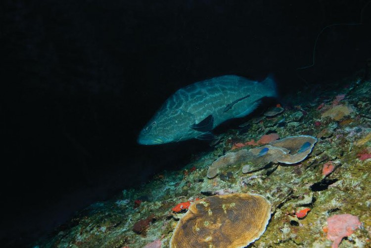 Large fishes such as this black grouper, Mycteroperca bonaci, may use mesophotic depths as a refuge from fishing. Depth: 62 meters; La Parguera, Puerto Rico. (Credit Hector Ruiz, University of Puerto Rico)