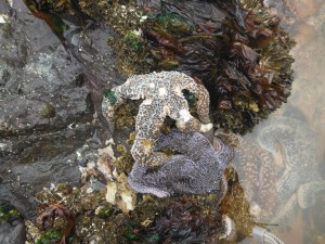 sea star sick with sea star wasting disease sits next to an apparent healthy sea star