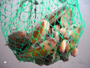 Razor clams contaminated with domoic acid can cause illness to human consumers. Credit: NOAA.
