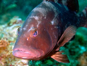 The industrious Red Grouper, a species of interest for this project, establishes complex habitat on the seafloor along Pulley Ridge. It digs pits as much as 5 meters across and 2 meters deep by scooping up sediment in its mouth and depositing it on the rim of the pit. Photo credit: Don DeMaria.