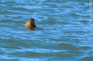 A bearded seal pops above the surface near the ship. Credit: NOAA.