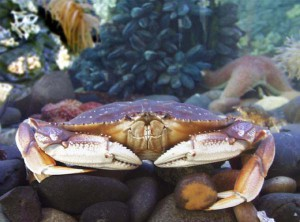 CaThe Dungeness crab, Cancer magister, is an important West Coast commercial species. They range from the Pribilof Islands in the Bering Sea to Santa Barbara, California. Credit NOAA AFSC
