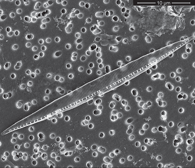 This image of a Pseudo-nitzschia frustule is maintained on an Environmental Sample Processer filter after preservation. The frustule is identified as Pseudo-nitzschia hasleana. Credit H. Bowers, MBRI