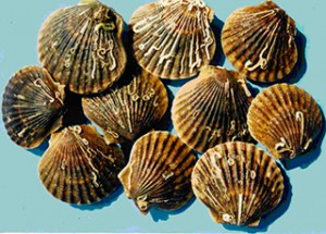 Populations of bay scallops have declined in Long Island's coastal bays. Credit: NOAA.