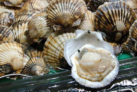 Dr. Chris Gobler's NCCOS-funded research includes studies of the harmful impacts of ocean acidification on the larval growth and shell formation of the commercially valuable Atlantic bay scallop (Argopecten irradians). Photo credit NOAA NMFS