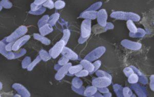 Microscopic image of the Vibrio pathogen
