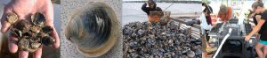 NOAA scientists are studying the effectiveness of shellfish aquaculture for nutrient removal around the Long Island Sound. Credit: NOAA