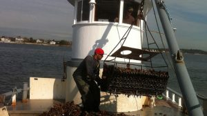 Eastern oysters being harvested. Credit: East Coast Shellfish Growers Association