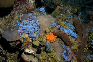 Bright blue ascidians, known as sea squirts, are found thriving at 50 m (164 feet) among corals, greenish brown algae (Lobophora) and red, orange, and brown sponges off La Parguera, Puerto Rico. (photo credit Hector Ruiz, UPR)