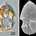 Toxins of the dinoflagellate Azadinium spinosum can cause azaspiracid shellfish poisoning. Credit Urban Tillimann, Alfred Wegener Institute, Germany