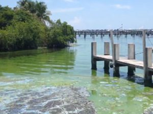 Blue-green algae clog a Martin County, FL marina, June 2016. Photo Courtesy Mary Radabaugh, Central Marine, Stuart and the Martin County Board of County Commissioners
