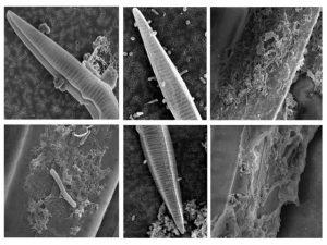 Scanning Electron Microscope images of Pseudo-nitschia and their associated bacteria. Credit: M. Sison-Mangus, Univ. of California Santa Clara