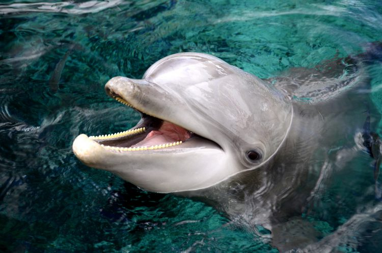 bottlenose dolphin informative speech Learn about bottlenose dolphins with pictures, fun facts, news, and videos find links to information about other animals.