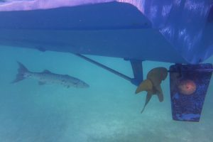 A great barracuda lurking in the shadows underneath the boat. Credit: NOAA
