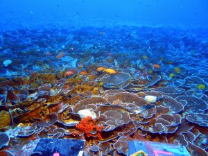 Mesophotic coral ecosystems are populated with many of the same fish species found on shallow reefs. 'Au'au Channel, off the southwest coast of Maui, at a depth of 230 feet. Credit: NOAA Hawai'i Undersea Research Laboratory.