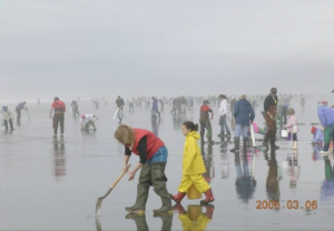 Razor clam harvesting. Credit: Washington Dept. of Ecology