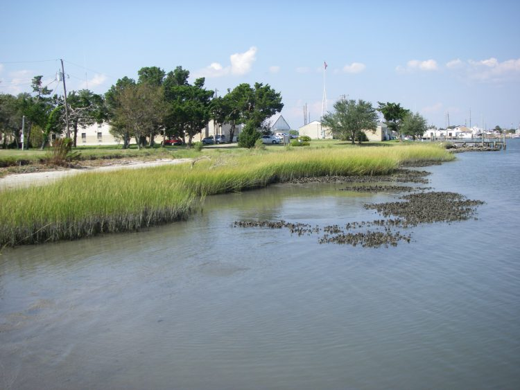 A living shoreline using a combination of oyster reef restoration and smooth cord grass planting in Beaufort, North Carolina.