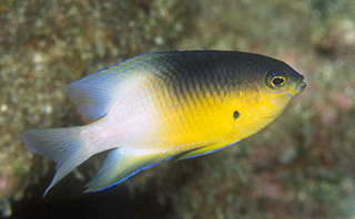 The bicolor damselfish, Stegastes partitus, is a common reef fish in the Gulf of Mexico and Caribbean Sea. It grows to about 10 cm in length and has a depth range of 0-100 meters (330 feet). Photo Credit: Joyce and Frank Burek