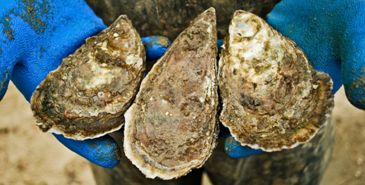 As filter feeders, oysters naturally remove nutrients from the water.