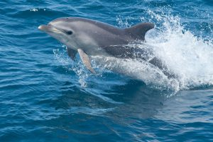 Bottlenose dolphins in U.S. territorial waters are legally protected under the Marine Mammal Protection Act of 1972.