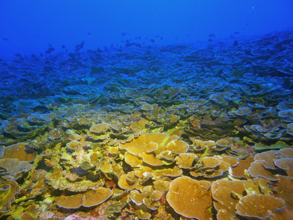 Image of Leptoseris sp. reef offshore of Maui, Hawaii, at 67 meters (220 feet) depth.