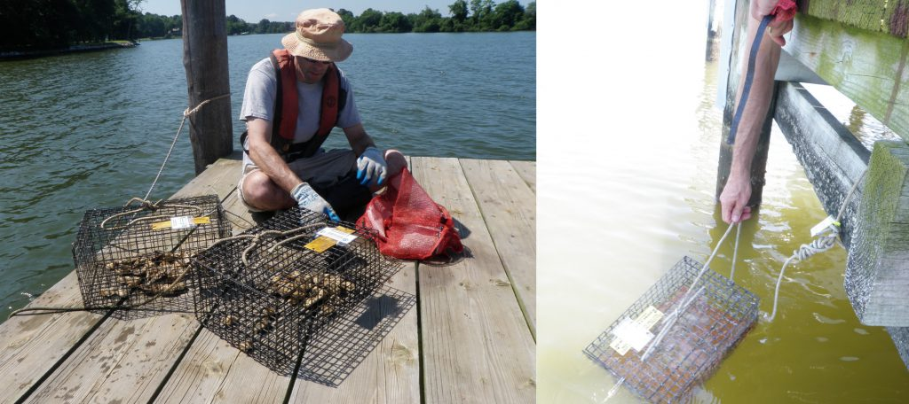 Photo of caged oysters being deployed at a survey site in the Chesapeake Bay.