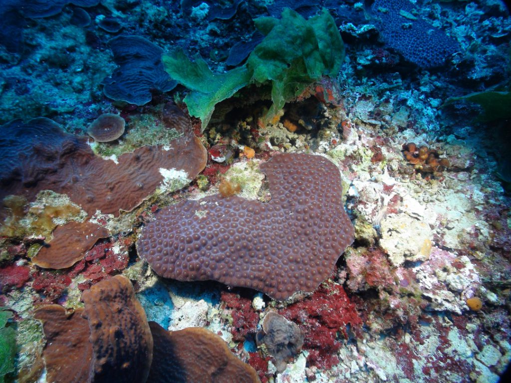 The great star coral, Montastraea cavernosa, and lettuce corals, Agaricia spp., at Pulley Ridge are two of our project's focal species for understanding connectivity between Pulley Ridge and the Florida Keys.