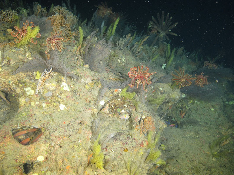 black corals and crinoids 400 feet deep on Elvers Bank in the northwestern Gulf of Mexico